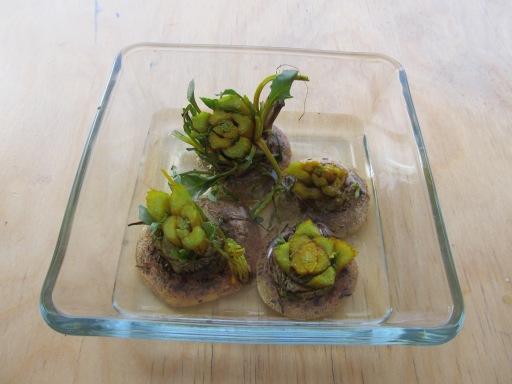 growing beet tops